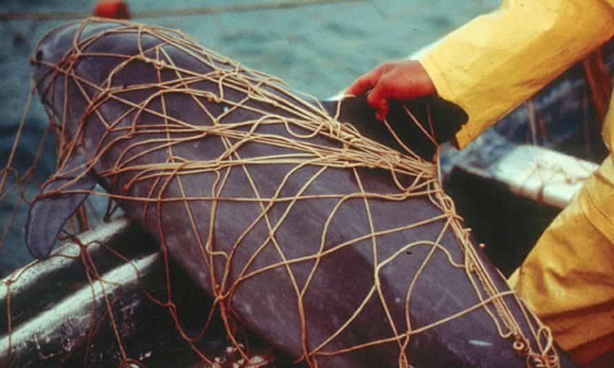 A dead vaquita porpoise entangled in an illegal gillnet used to catch totoaba, a large marine fish.