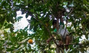 Edmilson Estevão climbs a mature cacao tree to pick the fruit.