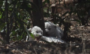 White lion cubs at the Drakenstein lion park on Tuesday.