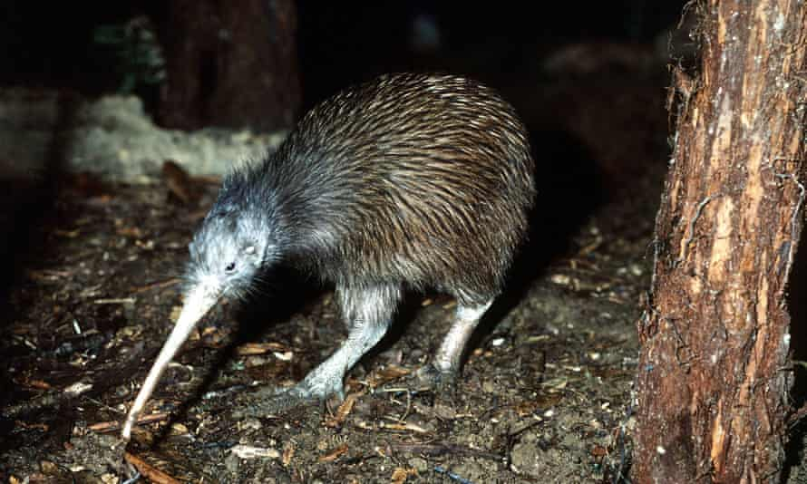 KIWIFILE PHOTO-New Zealand's national symbol, the Kiwi bird is shown in this undated file photo. A recent genetic study suggests the flightless Kiwi is more closely related to Australia's Emu than to New Zealand's now extinct Moa bird. (AP Photo/Kirbby Wright)**AUSTRALIA OUT**