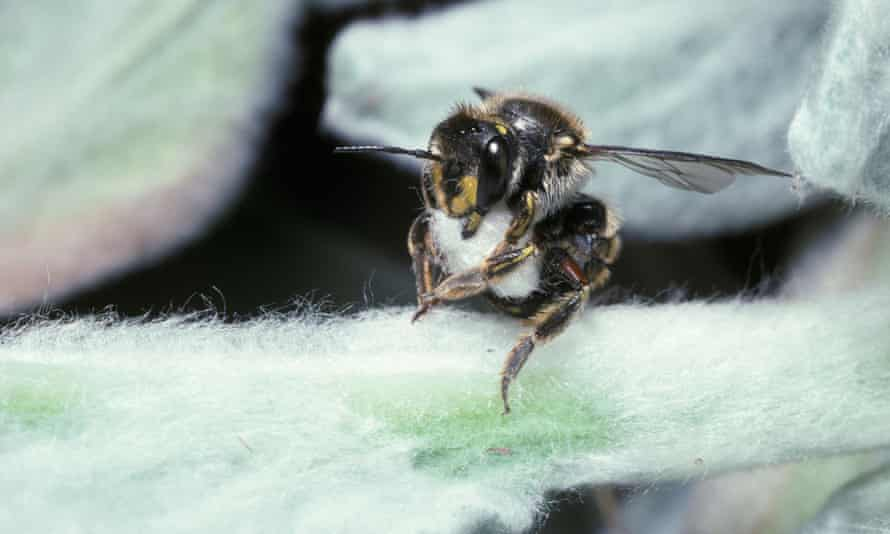 Wool carder bee with a ball of hairs cut from a leaf to build her nest