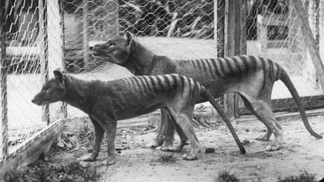 sightings of extinct tasmanian tiger prompt search in queensland