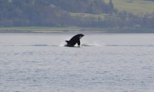 Orca on River Clyde