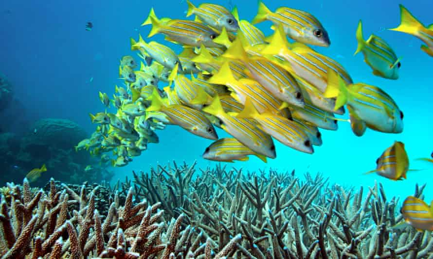 A school of fish on the Great Barrier Reef which has had a problem with coral bleaching