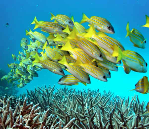 Fish swim over staghorn coral on Australia's Great Barrier Reef