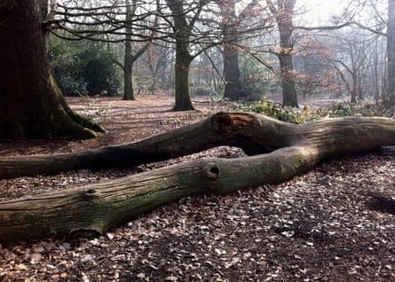 A fallen elm on Hampstead Heath, north London.