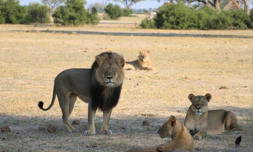 Cecil, a 13-year-old lion with a distinctive black mane, was a popular tourist attraction at Hwange national park