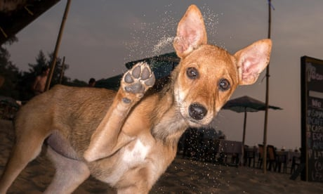 Going a stray: Goa's beach dogs – in pictures
