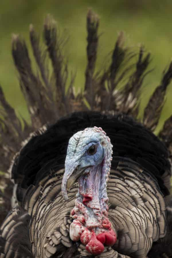 A certified organic heritage breed Narragansett turkey.