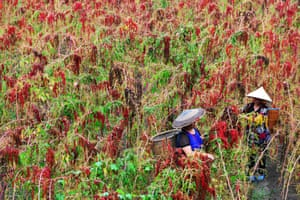 Chinese farmers harvesting red quinoa in Jianhe in China's south-west