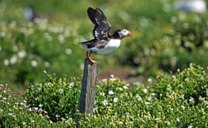 The National Trust has decided it needs to conduct a yearly census of the number of puffins on the remote Farne Islands in Northumberland instead of every five years, due to climate change, which is causing a decline in readily available food