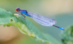 The small red-eyed damselfly was first seen  in the UK in 1999.