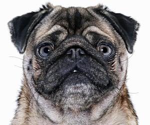 Pug dog, close-up
