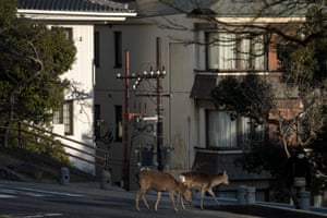 Sika deer cross a road in Nara, Japan, on 12 March. Some groups of deer have been roaming in the city's residential area due to shortage of food partially fed from tourists, according to reports.