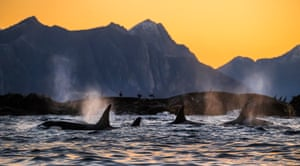 Killer whales hunting seals off the coast of northern Norway.
