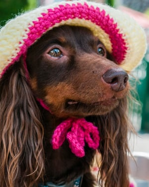 Six year old long haired dachshund Penny from New York State waits to take part in the Fancy Dress