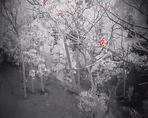 A thermal image of a koala taken by a drone operated by Victoria police.