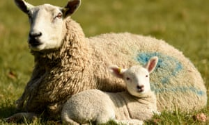 Lamb and mother in Dorset