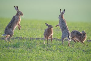 The German wildlife photographer Ingo Gerlach has been photographing the rut behaviour of the European Hare in Burgenland, Austria, for years. In the last week, he finally captured a classic boxing scene, which was over in less than 10 secs.