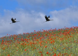 Cranes fly over a field in Brodowin, eastern Germany.