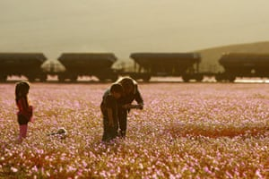 Flowers bloom in the Atacama desert