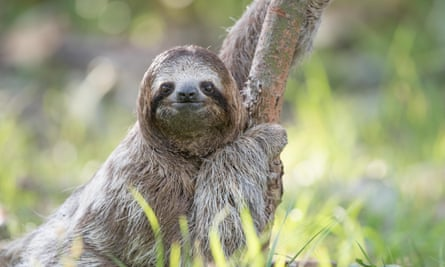 The Sloth Institute in Costa Rica rehabilitates sloths such as Keanu, pictured, and reintroduces them into the wild.