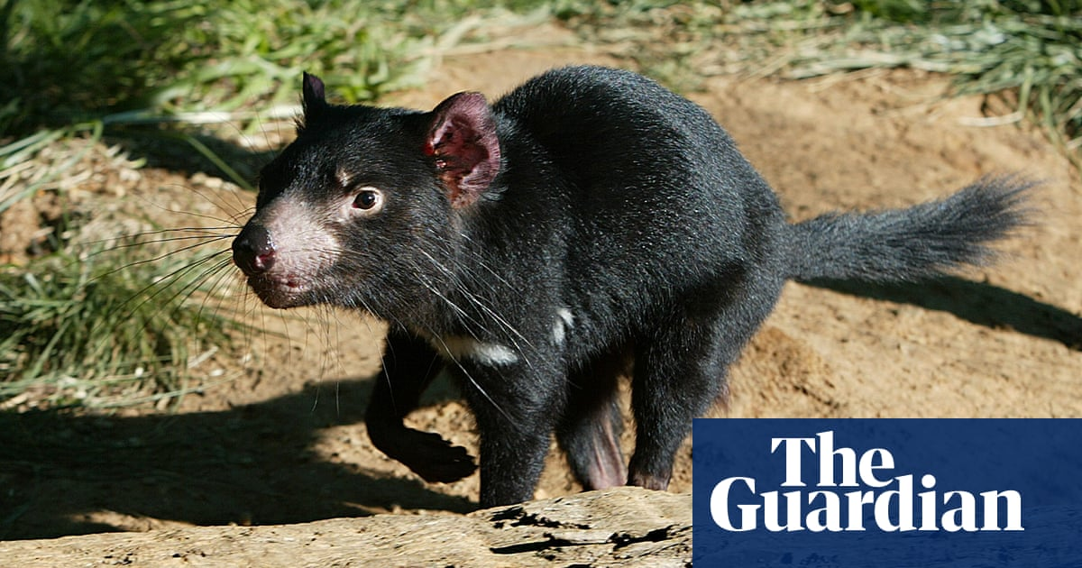 tasmanian devils on mainland would reduce feral cats and foxes