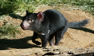 Ecologists say Tasmanian devils would assume the mantle of top predator if they were reintroduced to forests in south-eastern NSW.
