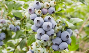 Fruity favourites: easy-growing blueberries.