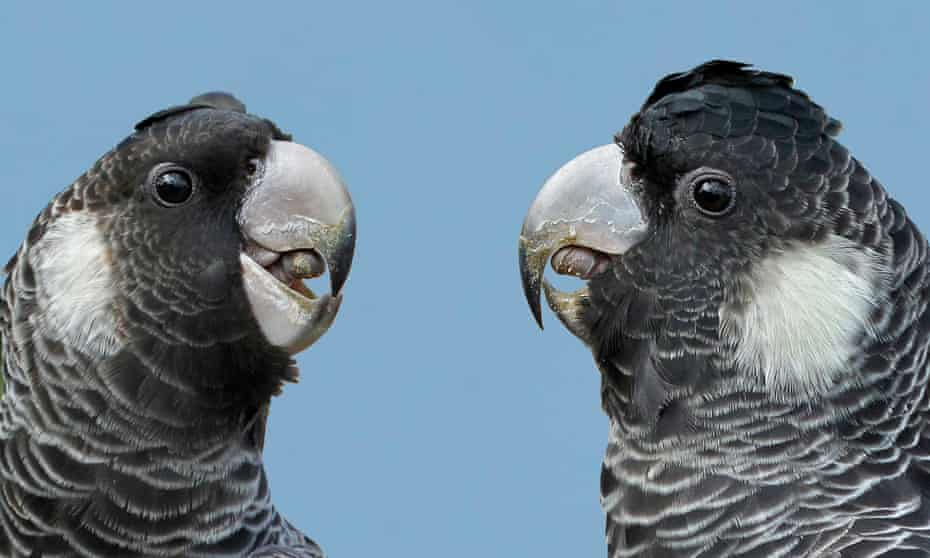 The one key difference between a Baudin's and Carnaby's is its beak. A lack of awareness about the difference in species is threatening the endangered Baudin's conservation efforts.