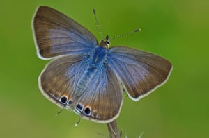 Long-tailed blue.