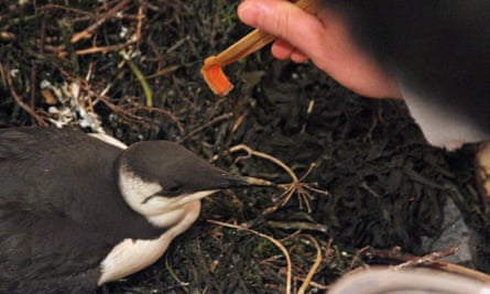 A man feeds salmon chunks to a common murre.