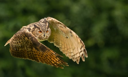 Male Eurasian Eagle-owl (<em>Bubo bubo</em>) in flight.