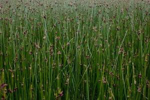 Plants growing in the wetlands of the Ciervo de los Pantanos national park in Buenos Aires, Argentina.
