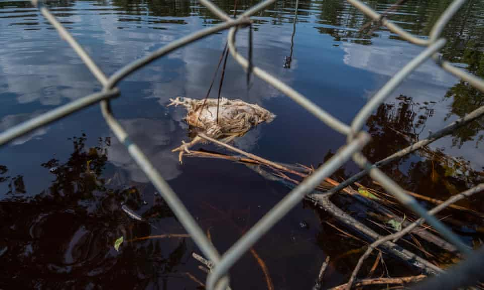 In the floods that followed Hurricane Florence, 3.4 million chickens have been confirmed killed.