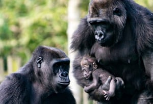 Dublin, Ireland Dublin Zoo announced the birth of a baby western lowland gorilla to first-time mother Kafi and father Bangui. It's gender is unknown at the moment.