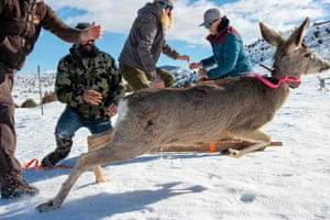 A mule deer is released by Division of Wildlife Resources employees after a health check at Hardware Ranch, near Hyrum, Utah.
