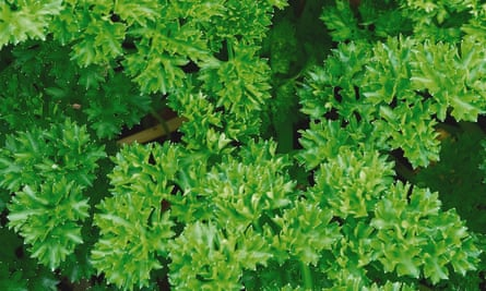 Not known Factual Statements About When Are Parsley Seeds Ready