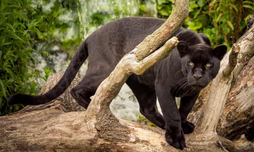 A Black jaguar