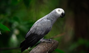 African grey parrots, which are extraordinary vocal mimics, may get the highest level of protection.