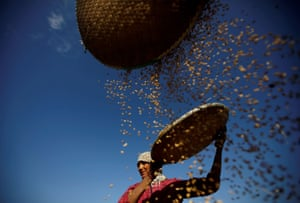 A farmer harvests rice in a field in Lalitpur, Nepal
