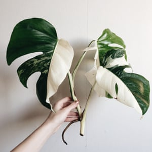 Monstera from Sweden's @littleandlush .