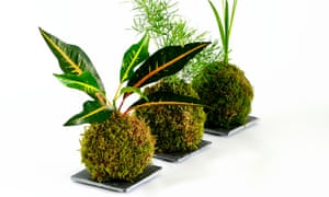 Three moss ball with foliage growing out of the top