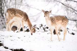 Deer are seen in the snow in Knole Park, Sevenoaks.