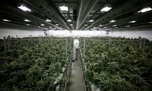 Section grower Corey Evans walks between flowering marijuana plants at the Canopy Growth facility in Smiths Falls, Ontario, Canada.
