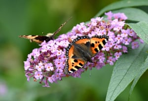 Small tortoiseshell butterflies (Aglais urticae) sit on the flowers of a butterfly tree in Aukrug-Homfeld, north Germany. Their name in German is Klein Fuchs, 'small fox'