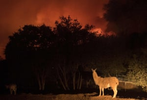 An animal stands on a property as impending flames close in on a residential area