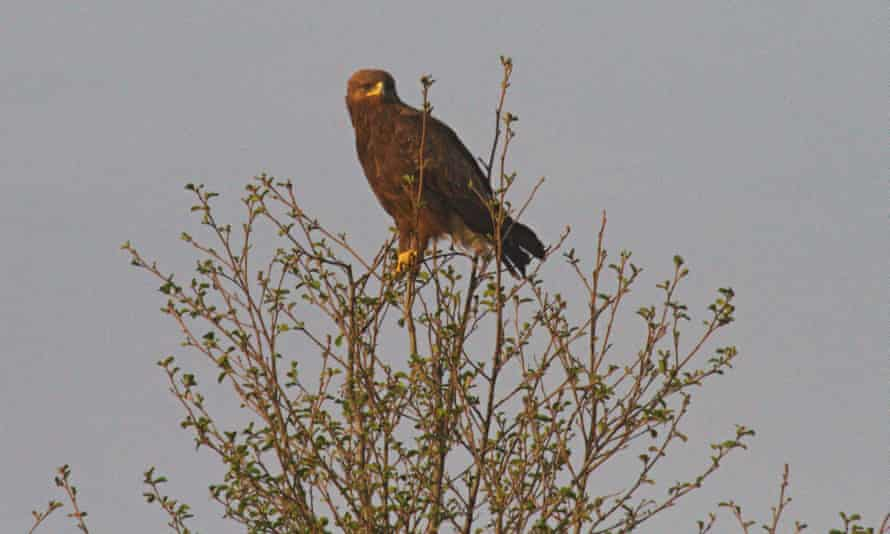 Lesser spotted eagle in the Palieski State Radioecological Reserve, Belarus