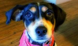 Pamela Alvarez's dog named Mika in Houston, Texas.