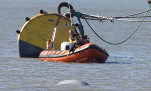 The whale in the Thames on Wednesday.